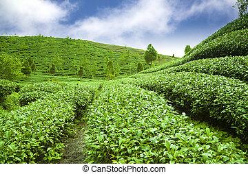 čaj, mračno, nezkušený, zahrada, grafické pozadí