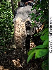 čelit, džungle, slon