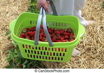 Čerstvě vybrané jahody