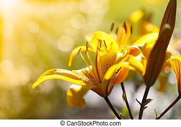 Žlutá květinová lilie na slunečný den