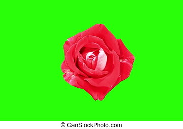 4k. Červené růže