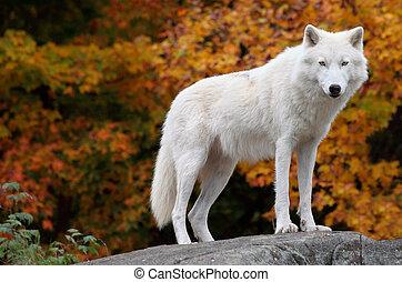 Aktický vlk se dívá na kameru v podzimní den