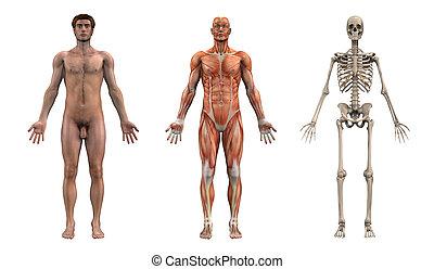 Anatomic přemožitelky - dospělý muž