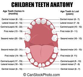 anatomie, děti, zuby