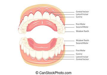 anatomie, zuby