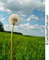 Bílá pampeliška mezi zelenými trávami.