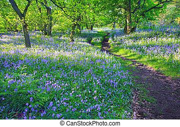 Bluebells Woods na jaře, uk