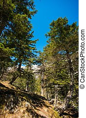 Borový les proti modré obloze