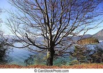 buk, podzim, strom