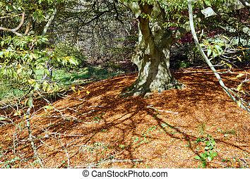 buk, podzim zapomenout, strom
