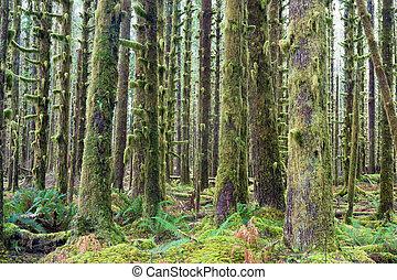 Cedarové stromy, zelené mechy, lesy, lesy, deštné lesy