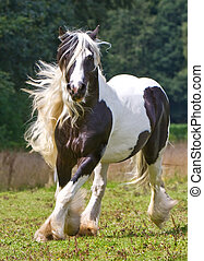 Cikánský kůň