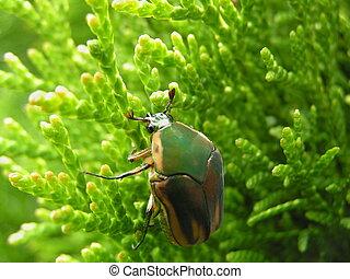 Cing zelené june beetle