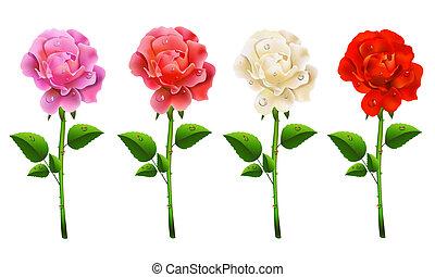 dát, růže