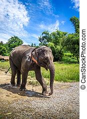 děťátko, květen, sad, chráněný, slon, chiang, thajsko