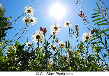 Daisy květina v létě s modrou oblohou