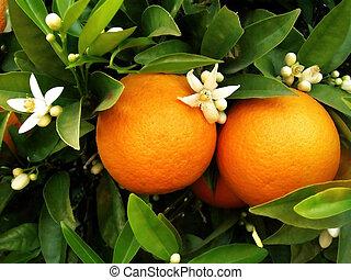 Dva pomeranče na oranžovém stromě