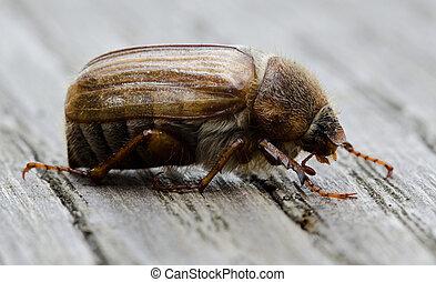 Evropská june beetle