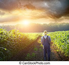 Farmář chodí v kukuřičných polích při západu slunce