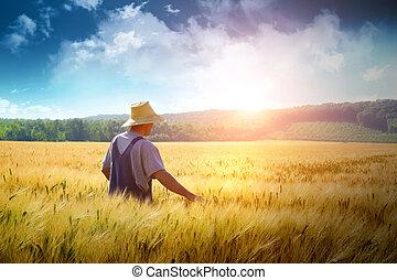 Farmář prochází pšenicí