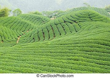 farma, čaj