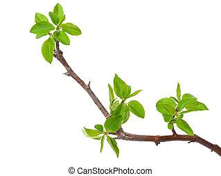 filiálka, strom, osamocený, jablko, pramen, rašit, neposkvrněný