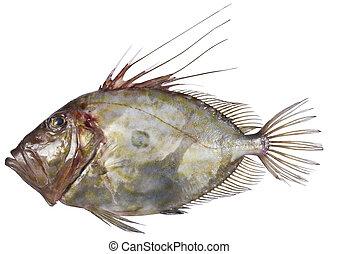 fish, jan, dory