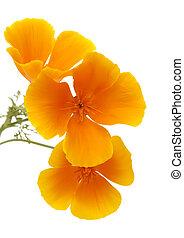 Flora z kalifornské kalifornie