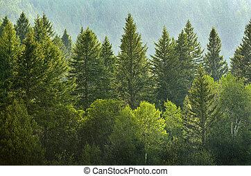 forrest, kopyto, déšť, borovice