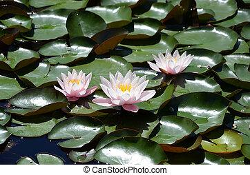 fotografování, jezero, waterlilies, detail, malý, kvetoucí