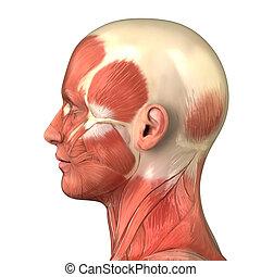 Hlava svalová anatomie