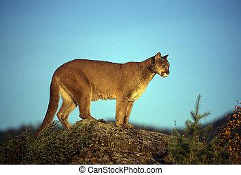 hromada čeho lev, dospělý