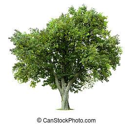 Izolovaný jablečný strom