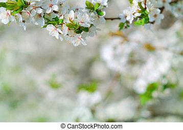 Jablko-kvetová větev v květu