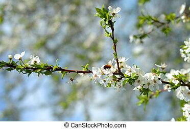 Jablko v květu a včela