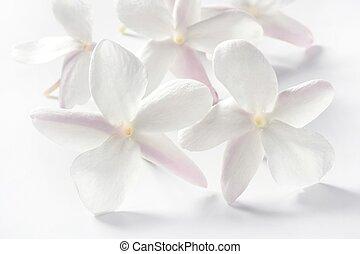 Jasmínové květiny na bílém pozadí