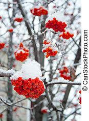 jeřáb, pokrytý, sněžit