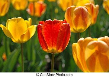 Jeden červený tulip mezi žlutými a oranžovými tulipány