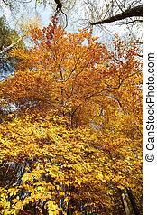 konzervativní, strom, podzim, nebe, buk