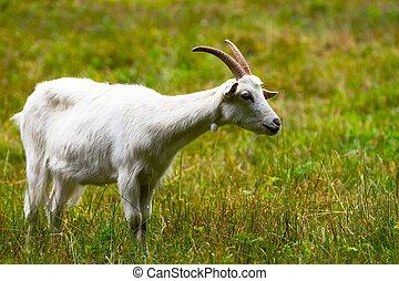 Koza na zelené louce