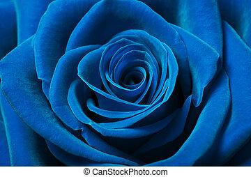 Krásná modrá růže