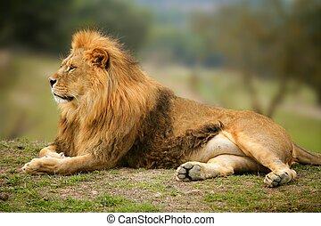 Krásný lev divoký zvířecí portrét