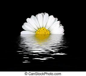 květ, odraz, sedmikráska