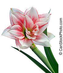 Kvetová amaryllisová