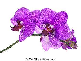 Kvetový twig z lilatických orchidejí na bílém pozadí.