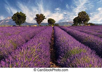 Lavenderské pole v prokázání, France