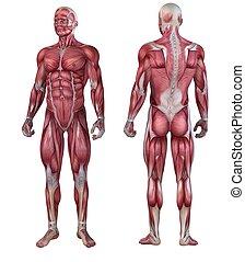 Lidský svalový systém