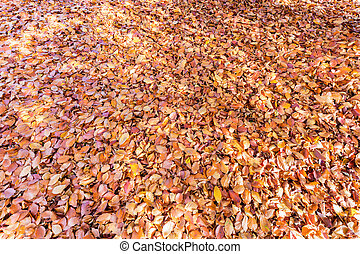 list, strom, podzim, buk, pokrytý, pozemek