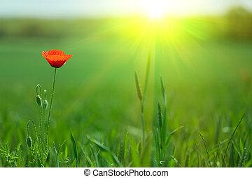 mák, svobodný, sluneční světlo