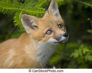 Mammal red liška